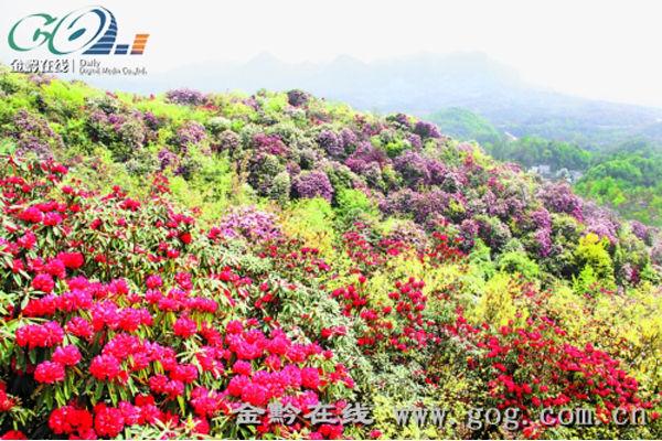 百里杜鹃风景区 百里杜鹃风景区是迄今为止中国已查明的面积最大的天然杜鹃林带,初步查明百里杜鹃国家森林公园园内有马缨杜鹃、大白花杜鹃、水红杜鹃、露珠杜鹃、锈叶杜鹃、映山红、树形杜鹃等23个品种,占世界杜鹃花5个亚属中的4个、贵州70余种的三分之一。暮春3月下旬至4月末各种杜鹃花先后怒放,杜鹃花漫山遍野,千姿百态,铺山盖岭,色彩缤纷。最为奇特的是一树不同花,即一棵树上开出若干不同颜色的花朵,最壮观的可达7种之多,被有关专家誉为世界上最大的天然花园,有地球的彩带世界的花园的美称。 据悉,近年来,百里