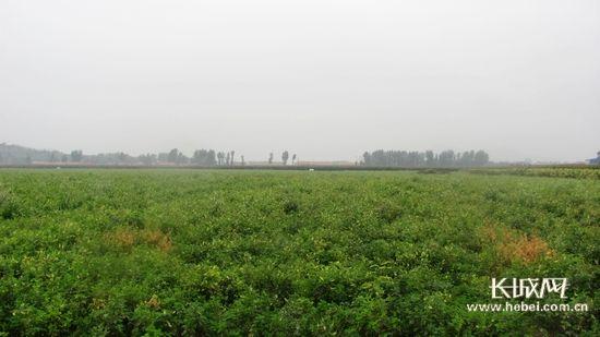 平泉北五十家子镇将建成千亩药材基地及加工项目