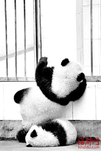 一只可爱的大熊猫决定『越狱』逃走