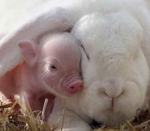"""照片中,可爱小巧的猪宝宝与憨态可掬的兔子""""亲密""""地依偎在一起,争抢"""