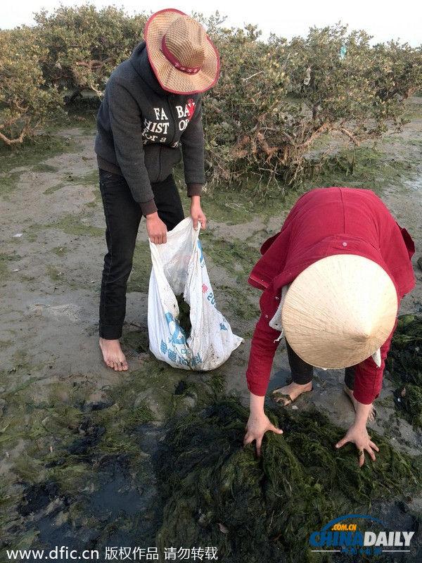海藻爆发 广西北海红树林遭侵袭