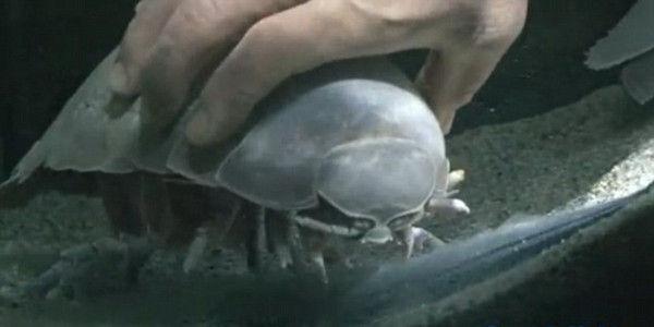 日本水族馆大王具足虫绝食5年零43天后死亡(资料图)