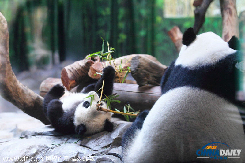 """2014年2月16日,广东省广州市,长隆野生动物世界,熊猫宝宝""""隆隆""""已经"""