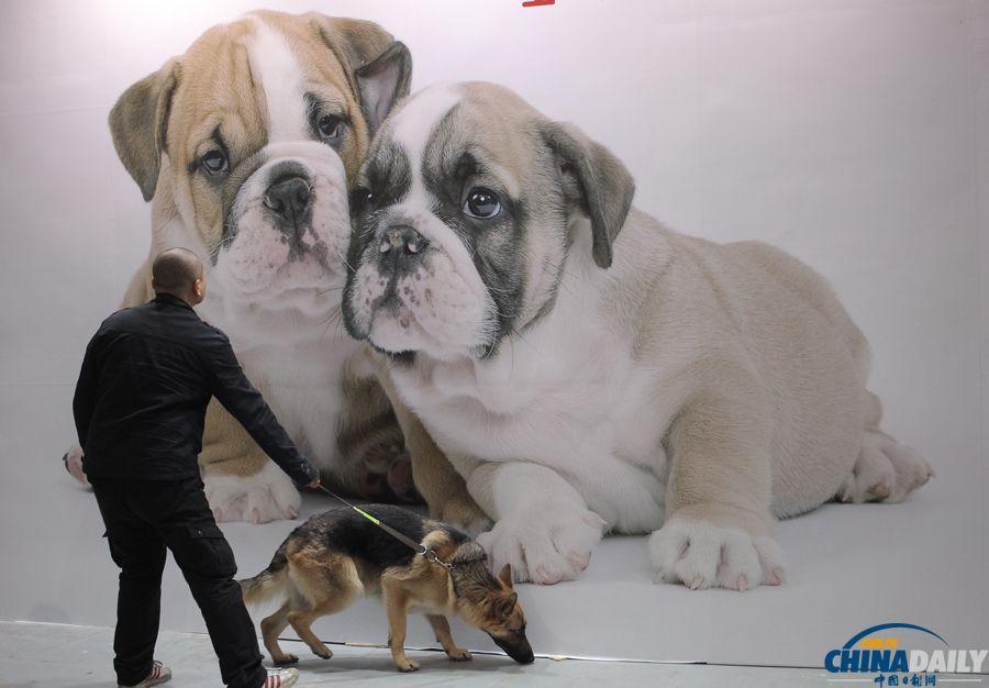 犬博会现场,一只犬在狗狗宣传画前驻足。(中国日报记者 高尔强 摄) 2014年3月13日,第三届上海国际犬博会在上海世博展览馆拉开帷幕,3000余只品种各异、憨态可掬的萌宠齐聚一堂,让爱犬人士大饱眼福。 为期4天的展会将举办《狗狗冲冲冲》线下竞赛、狗狗运动会、爱犬约会、宠物公益等一系列丰富精彩的活动,并进行宠物食品和用品、宠物美容产品的联展销售。