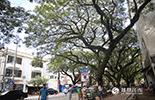 """""""太漂亮了!""""看到街道两旁郁郁葱葱的藤萝雨树时,凤凰小伙伴们特别兴奋,下车之后迅速掏出手机拍下这颇具浓浓南洋气息的独特景观。藤萝雨树树冠如盖,阳光透过树梢,像一条条闪烁的光带。"""