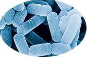 乳酸菌平衡肠道内菌群