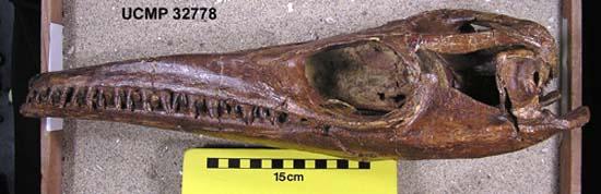 全球保存最完好的沧龙颅骨化石之一