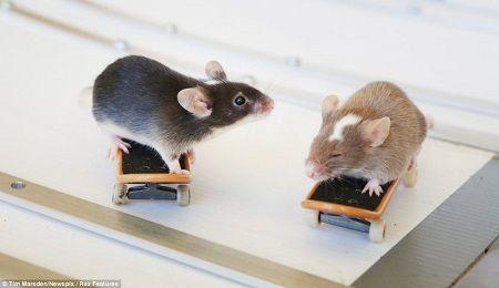 这两只小老鼠是滑板高手