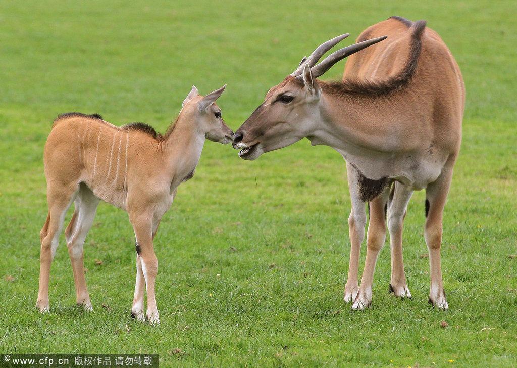 羚羊 高清圖片