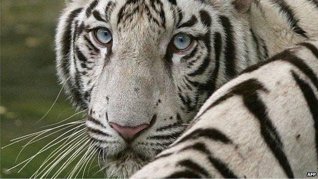 操白虎幼女_印度动物园白虎咬死17岁学生(图)