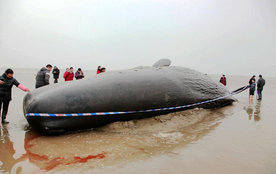 毛泽东纪念堂视频_江苏盐城4头鲸鱼海滩搁浅 已全部死亡_资讯频道_凤凰网