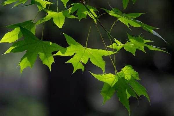 壁紙 綠色 綠葉 樹葉